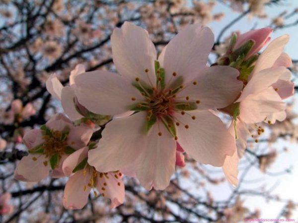 las-mejores-fotos-de-flores-flor-de-cerezo