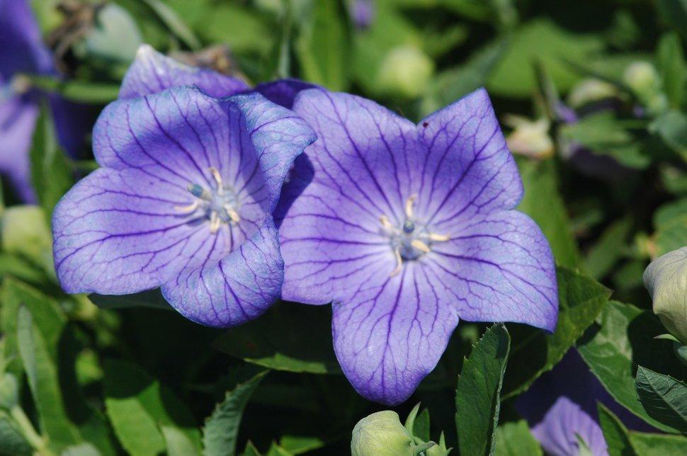 las-mejores-fotos-de-flores-flor-globo-abierta