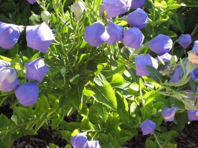 las-mejores-fotos-de-flores-flor-globo-cerrada