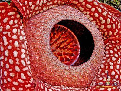 las-mejores-fotos-de-flores-rafflesia-arnoldii