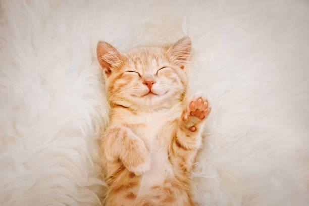 Las mejores fotos de gatos 2020 gatos SONRIENDO gato sonrie mientras esta tumbado