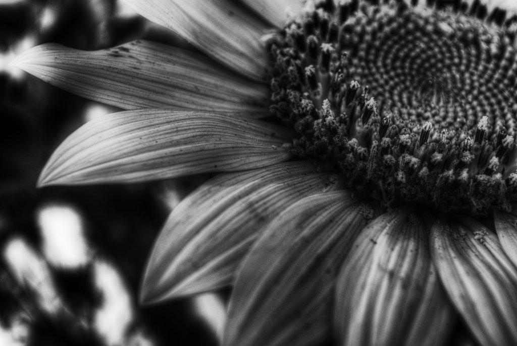 las-mejores-fotos-de-girasoles-en-blanco-y-negro