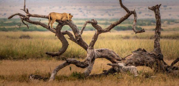 Las mejores fotos de leones altura