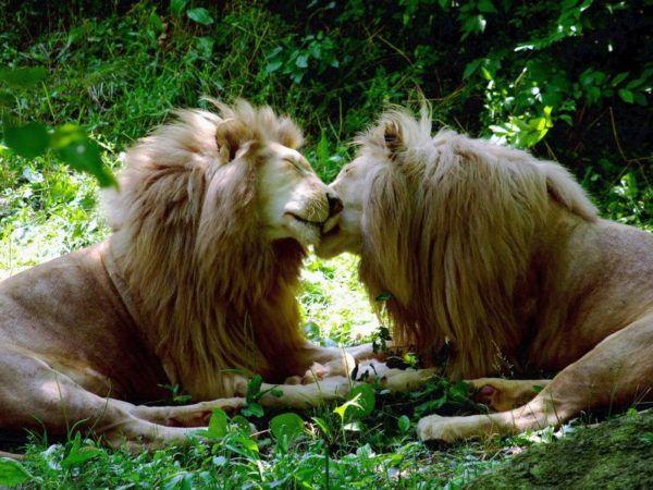 las-mejores-fotos-de-leones-amor