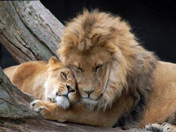 las-mejores-fotos-de-leones-amor-animal