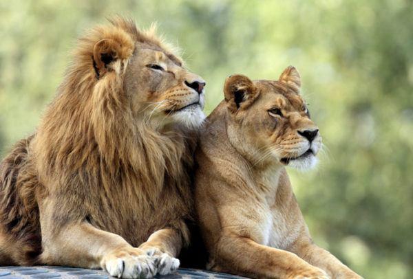 Las mejores fotos de leones amor