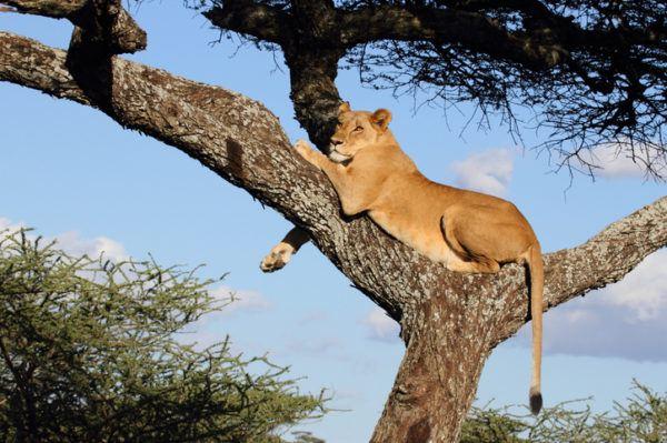 Las mejores fotos de leones arbol