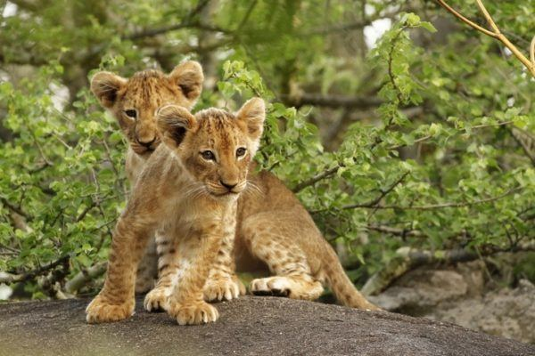 Las mejores fotos de leones bebes jugando