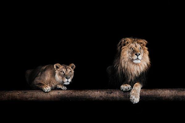 Las mejores fotos de leones blanco