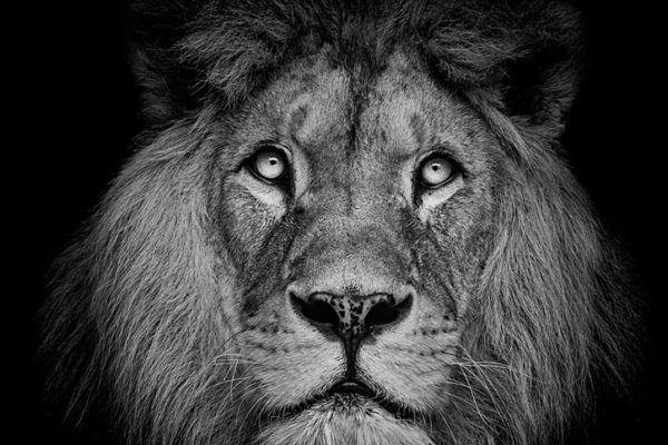 Las mejores fotos de leones blanco negro
