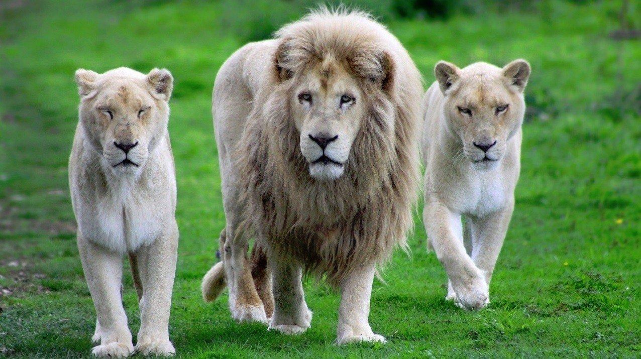 las-mejores-fotos-de-leones-blancos