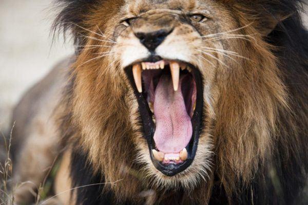 las-mejores-fotos-de-leones-boca-abierta