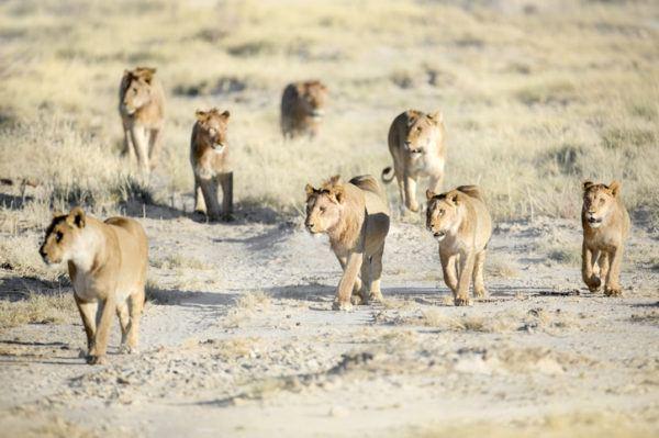 Las mejores fotos de leones cachorros