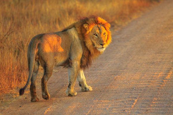 Las mejores fotos de leones carretera