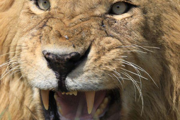 Las mejores fotos de leones colmillo