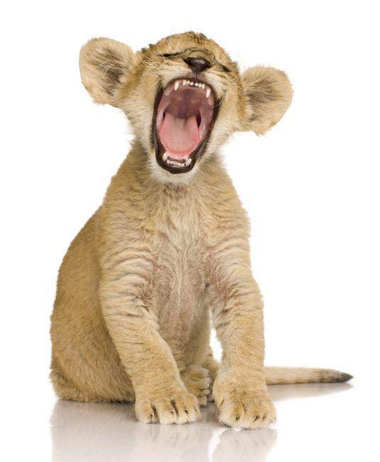 Las mejores fotos de leones