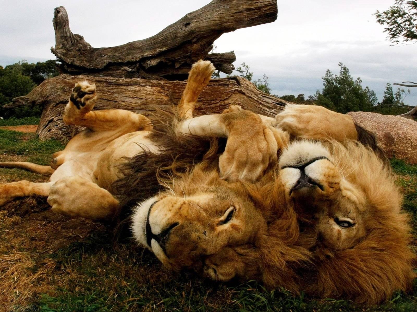 las-mejores-fotos-de-leones-juegos