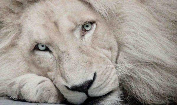 las-mejores-fotos-de-leones-leon-blanco