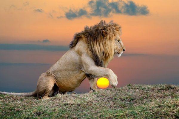 Las mejores fotos de leones leon cogiendo el sol