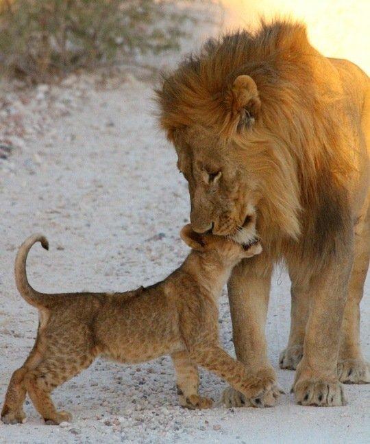 Las mejores fotos de leones leon con su bebe