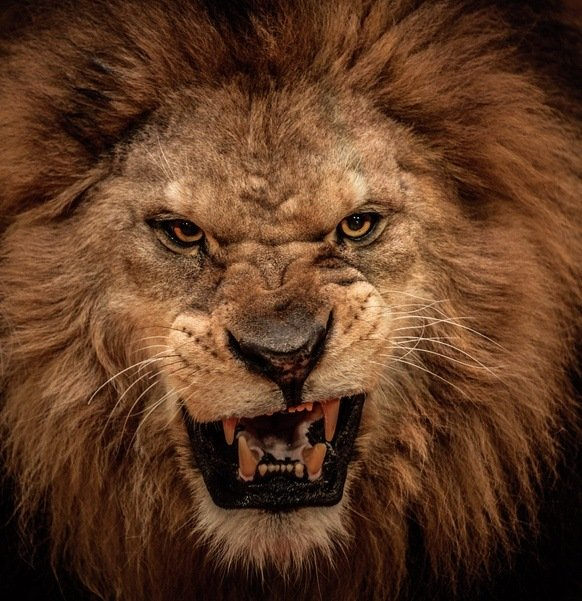 Las mejores fotos de leones leon enfadado