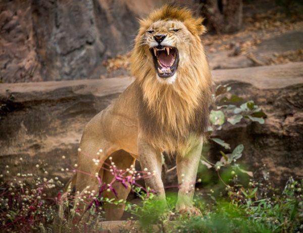 Las mejores fotos de leones leon enfadado rugiendo