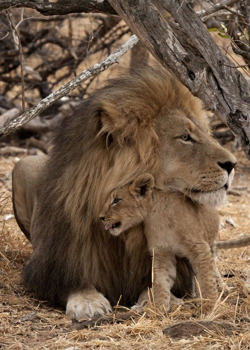 Las mejores fotos de leones leona con su hija