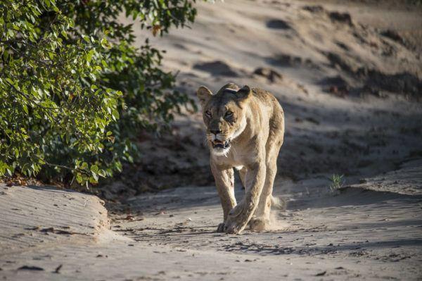 Las mejores fotos de leones leona