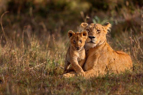 Las mejores fotos de leones leona y su hijo