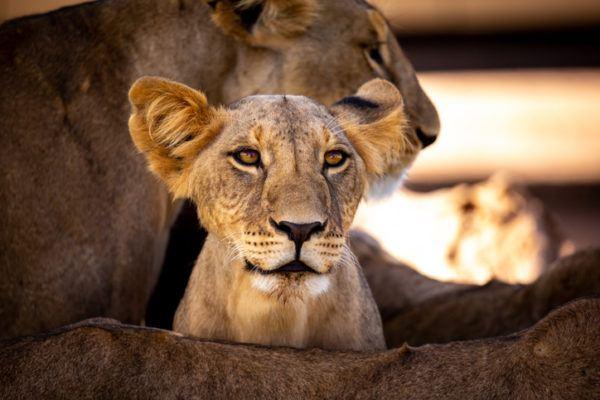 Las mejores fotos de leones leoncito