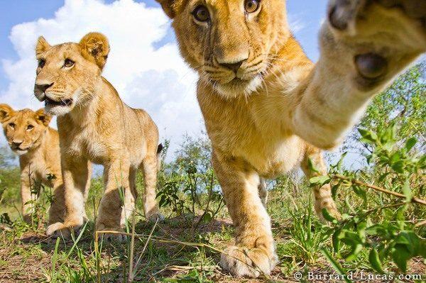las-mejores-fotos-de-leones-pillado