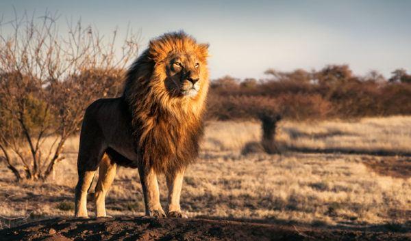 Las mejores fotos de leones rey