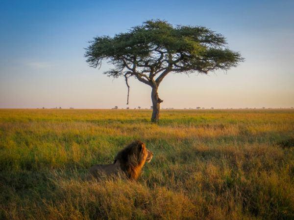 Las mejores fotos de leones sabana