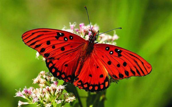 las-mejores-fotos-de-mariposas-roja