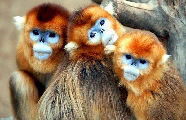 las-mejores-fotos-de-monos-cara-azul