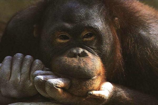 las-mejores-fotos-de-monos-divertido-orangutan