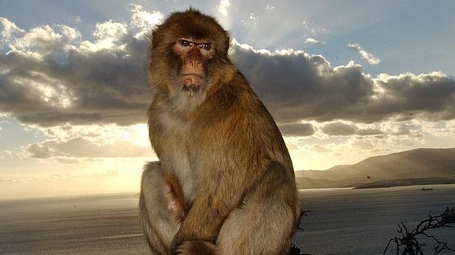 las-mejores-fotos-de-monos-gibraltar