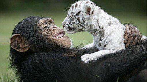 las-mejores-fotos-de-monos-tigre