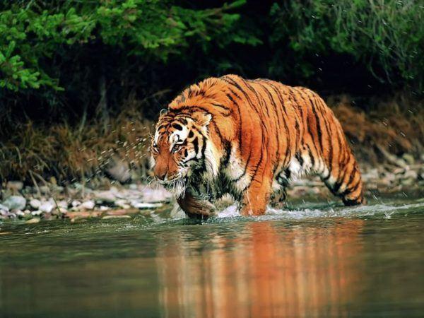 las-mejores-fotos-de-tigres-acecho