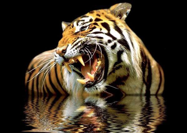las-mejores-fotos-de-tigres-agua