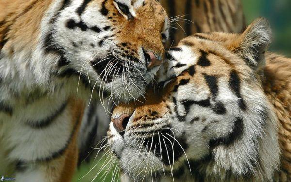 las-mejores-fotos-de-tigres-amor