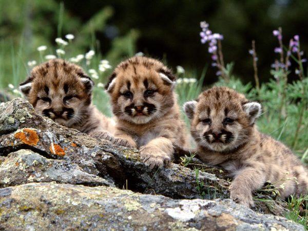 las-mejores-fotos-de-tigres-cachorros-tiernos