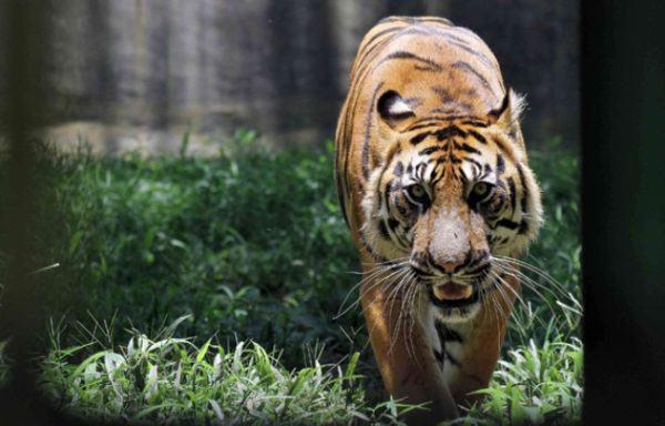 las-mejores-fotos-de-tigres-caminando