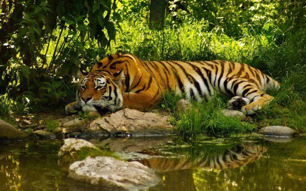 las-mejores-fotos-de-tigres-descansando
