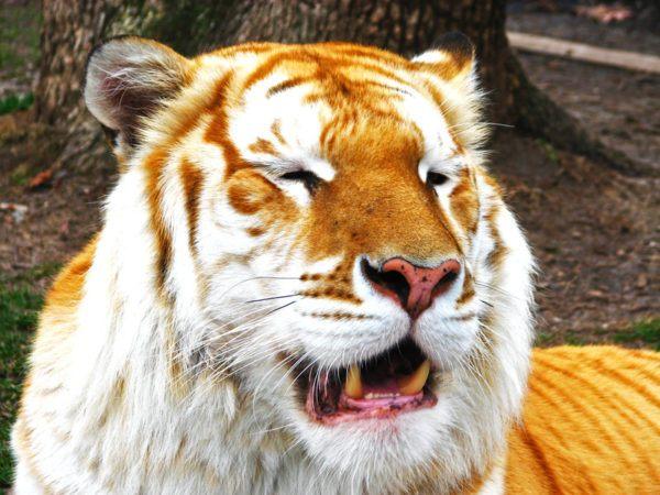 las-mejores-fotos-de-tigres-dorados