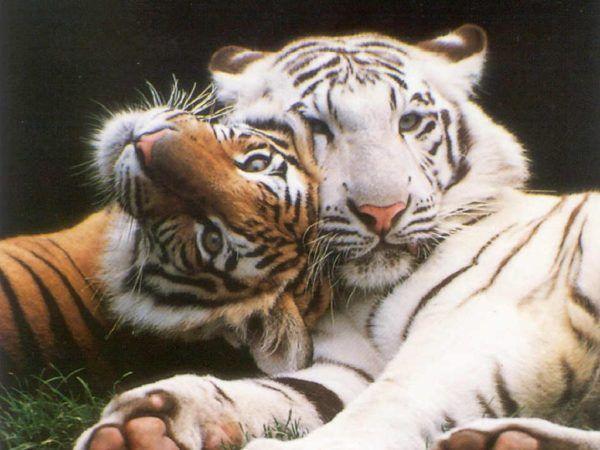 las-mejores-fotos-de-tigres-juegos
