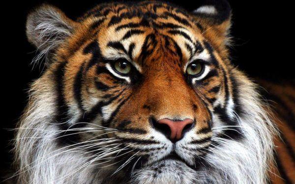 las-mejores-fotos-de-tigres-primer-plano