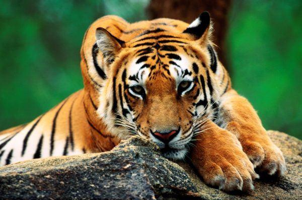 las-mejores-fotos-de-tigres-roca