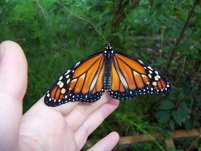 mariposa mohem