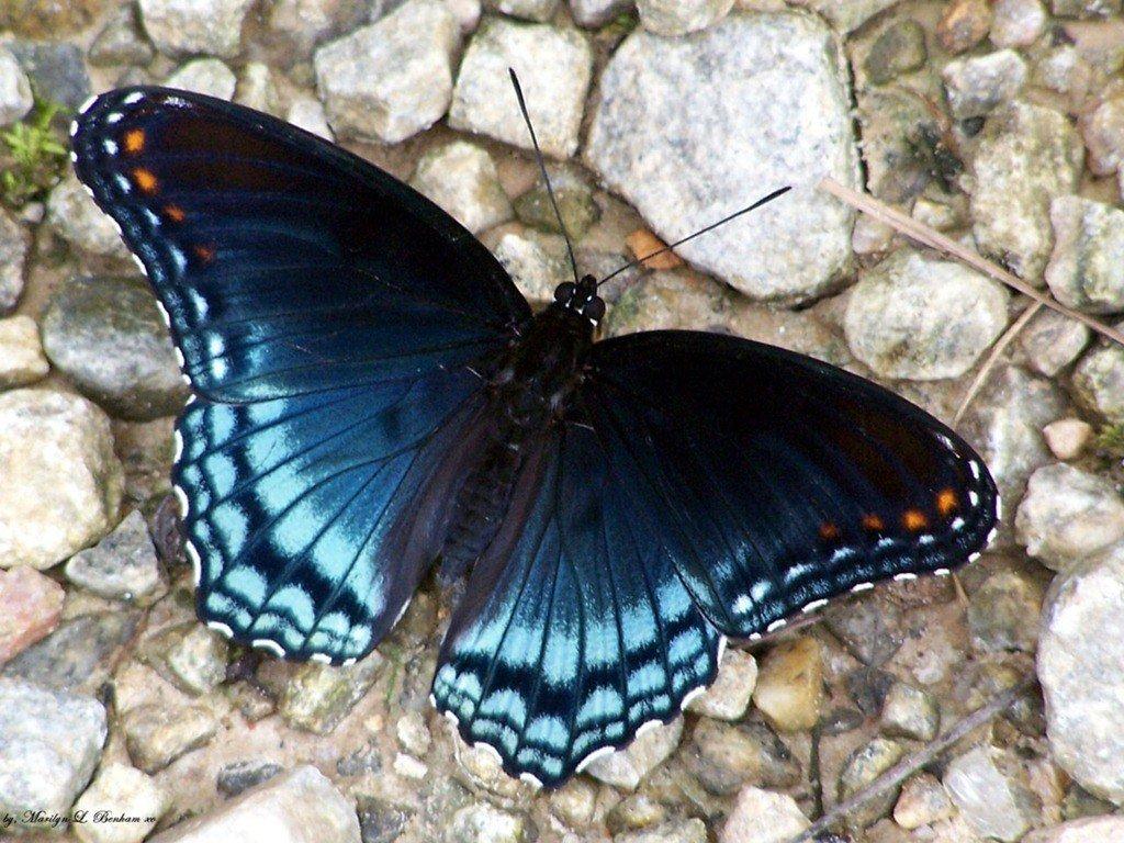 tienen en sus alas, los cuales reflejan la luz de formas distintas